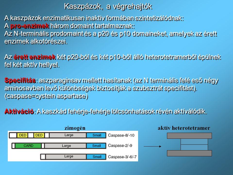 FADD (Fas Associated Death Domain) & TRADD (TNFR Associated Death Domain :adaptor Proteinek Iniciátor kaszpázok a 8 és 10, pro-kaszpáz alakban nem aktív: A DISC-hez kapcsolódva oligomerizálódnak és autokatalízissel aktíválódnak FADD (Fas Associated Death Domain) & TRADD (TNFR Associated Death Domain :adaptor Proteinek Iniciátor kaszpázok a 8 és 10, pro-kaszpáz alakban nem aktív: A DISC-hez kapcsolódva oligomerizálódnak és autokatalízissel aktíválódnak A DISC (Death Initiating Signaling Complex) kialakulás alapja a fehérje-fehérje kölcsönhatás A DISC (Death Initiating Signaling Complex) kialakulás alapja a fehérje-fehérje kölcsönhatás & TRADD DD= Death Domain: a halál receptorok intracelluláris domainben és az adaptor fehérjékben DED= Death Effector Domain: adaptor proteinekben és kaszpázokban DD= Death Domain: a halál receptorok intracelluláris domainben és az adaptor fehérjékben DED= Death Effector Domain: adaptor proteinekben és kaszpázokban Példák a domain proteinekre Pro-kaszpáz 8 és 10 Hasonló a hasonlóhoz: DD-DD, DED-DED DD