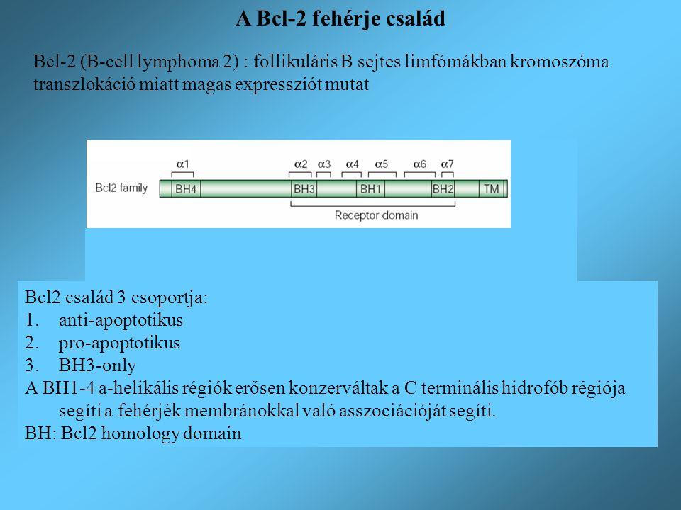 Jellemzők: BH1-BH4 domain, a BH4 specifikus az anti-apoptotikus tagokra TM-transzmembrán szakasz: a Bcl-2 a mitokondrium külső membránjában helyezkedik el, a Bcl-X L és Bcl-w csak stimulációra kerül a mitokondriális membránba minden magvas sejtben jelen van legalább az egyik anti-apoptotikus fehérje szerepük a mitokondrium membrán stabilitásának fenntartása, a pro-apoptotikus tagok gátlása Anti-apoptotikus tagok B-cell lymphoma 2 Bcl-extra long Myeloid cell leukemia factor-1 Bcl-2 homolog of ovary