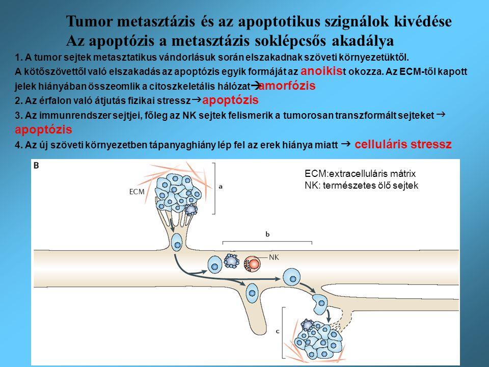 Anoikis és amorfózis: az adherens sejtek elvesztik a kontaktust az ECM-mel HGF: Hepatocyte Growth Factor FAK: Focal Adhesion Kinase MAPK: Mitogen Activated Protein Kinase XIAP: X-linked mammalian Inhibitor of Apoptosis ECM Metasztatikus sejtekben: 1.