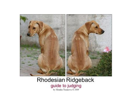 Rhodesian Ridgeback guide to judging by Monika Tusanova © 2009.