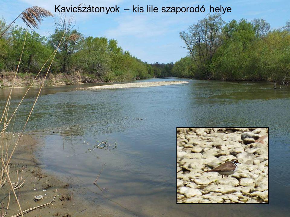 Szakadó partok: Egyebek közt uhu fészkelő hely, Dunavirág, Tiszavirág tenyésző hely
