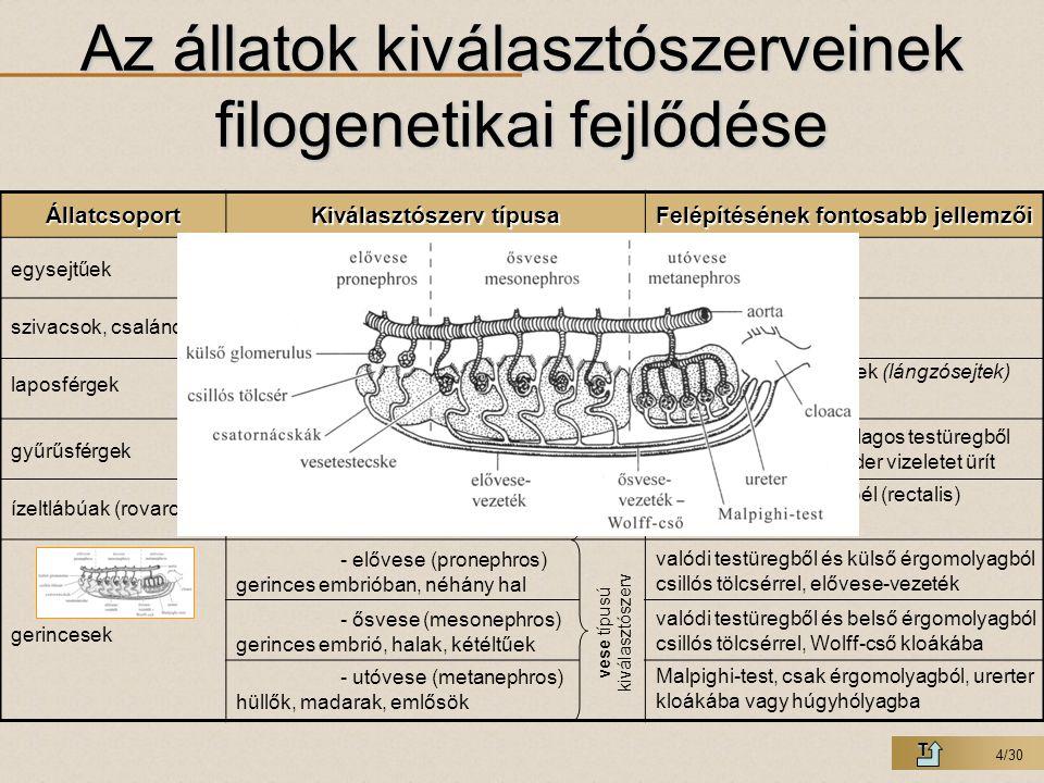 Az állatok kiválasztószerveinek filogenetikai fejlődése