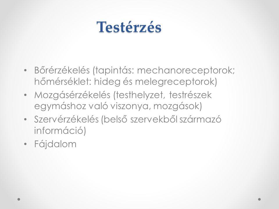 Testérzés Bőrérzékelés (tapintás: mechanoreceptorok; hőmérséklet: hideg és melegreceptorok)