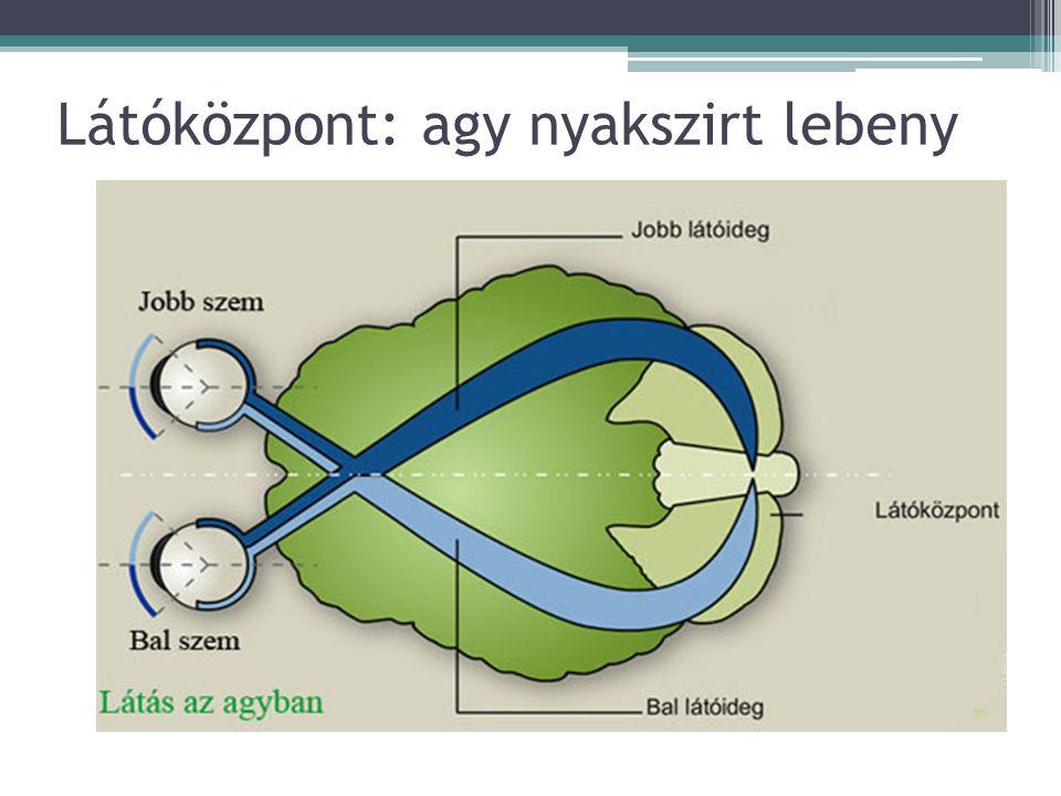 Látóközpont: agy nyakszirt lebeny