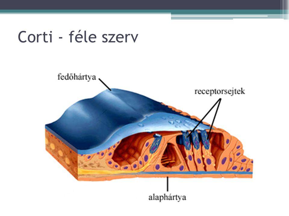 Corti - féle szerv