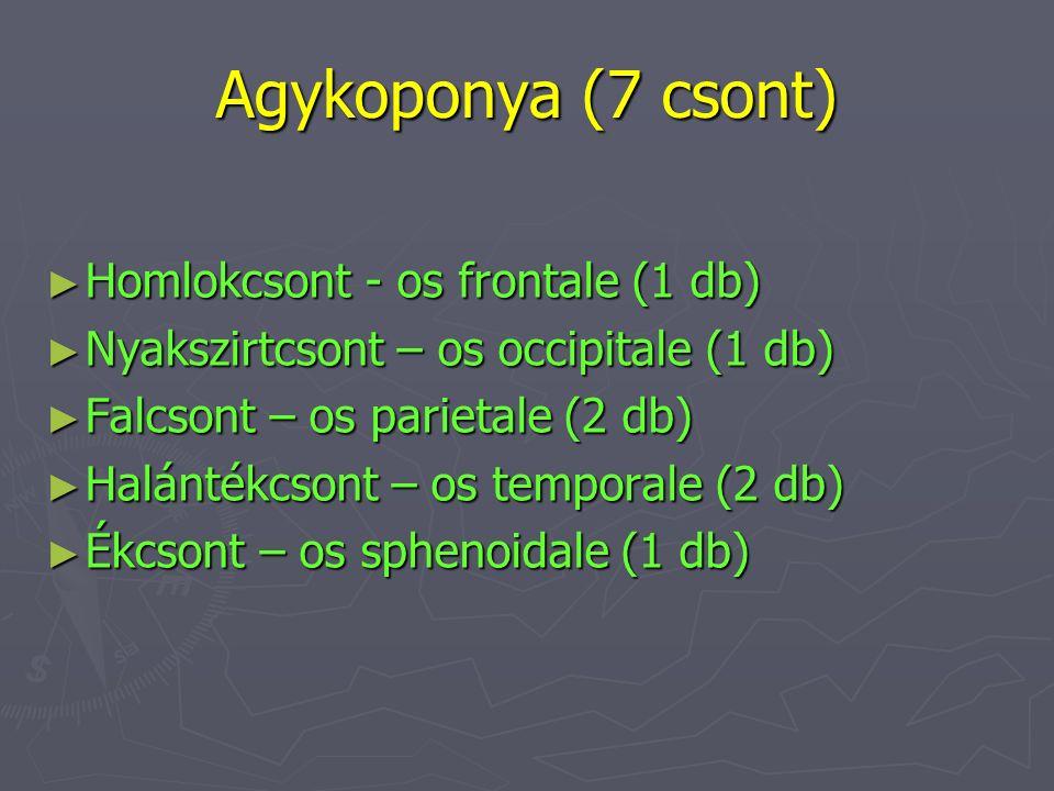 Agykoponya (7 csont) Homlokcsont - os frontale (1 db)