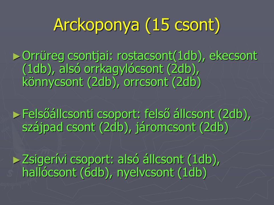 Arckoponya (15 csont) Orrüreg csontjai: rostacsont(1db), ekecsont (1db), alsó orrkagylócsont (2db), könnycsont (2db), orrcsont (2db)