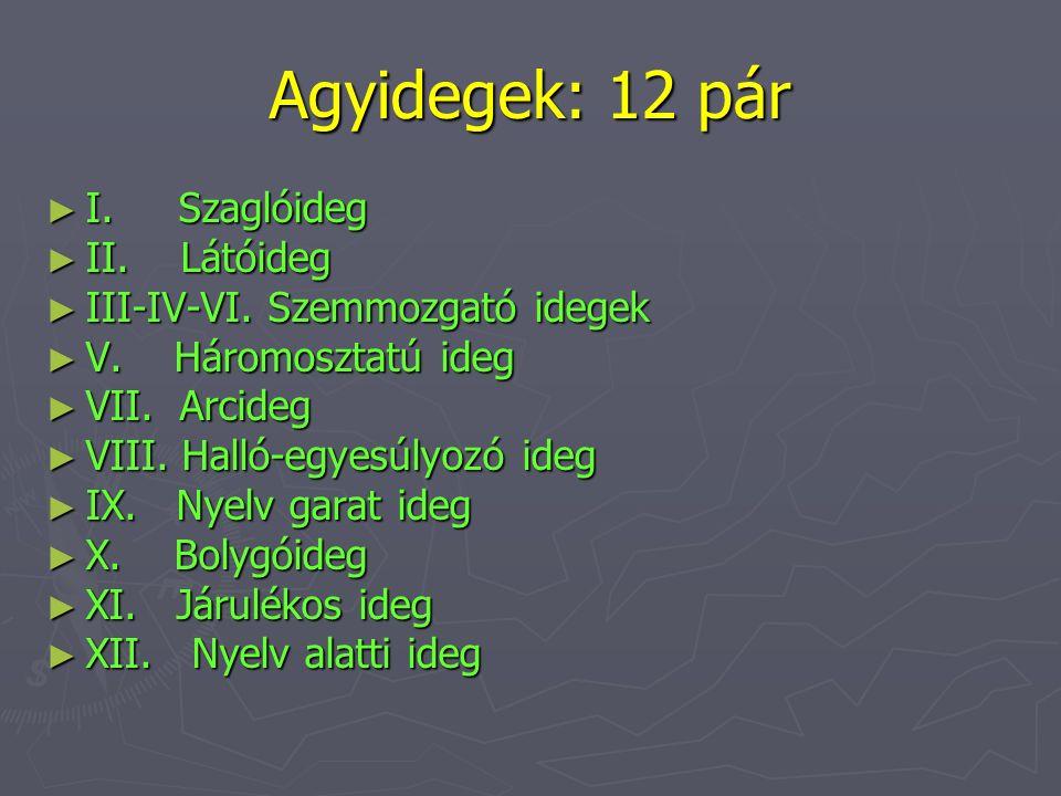 Agyidegek: 12 pár I. Szaglóideg II. Látóideg