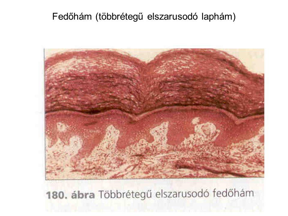 Fedőhám (többrétegű elszarusodó laphám)