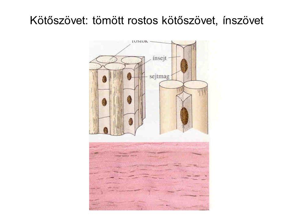 Kötőszövet: tömött rostos kötőszövet, ínszövet