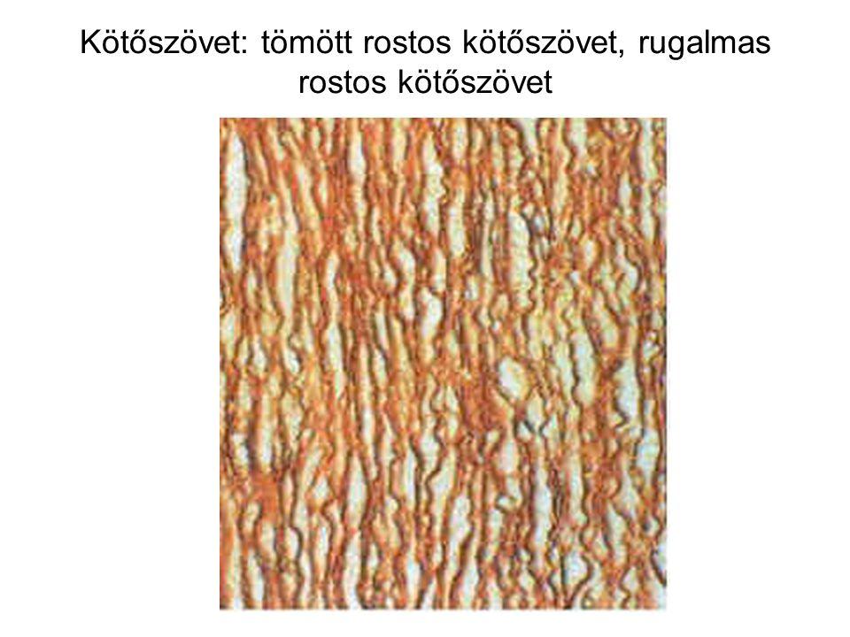Kötőszövet: tömött rostos kötőszövet, rugalmas rostos kötőszövet