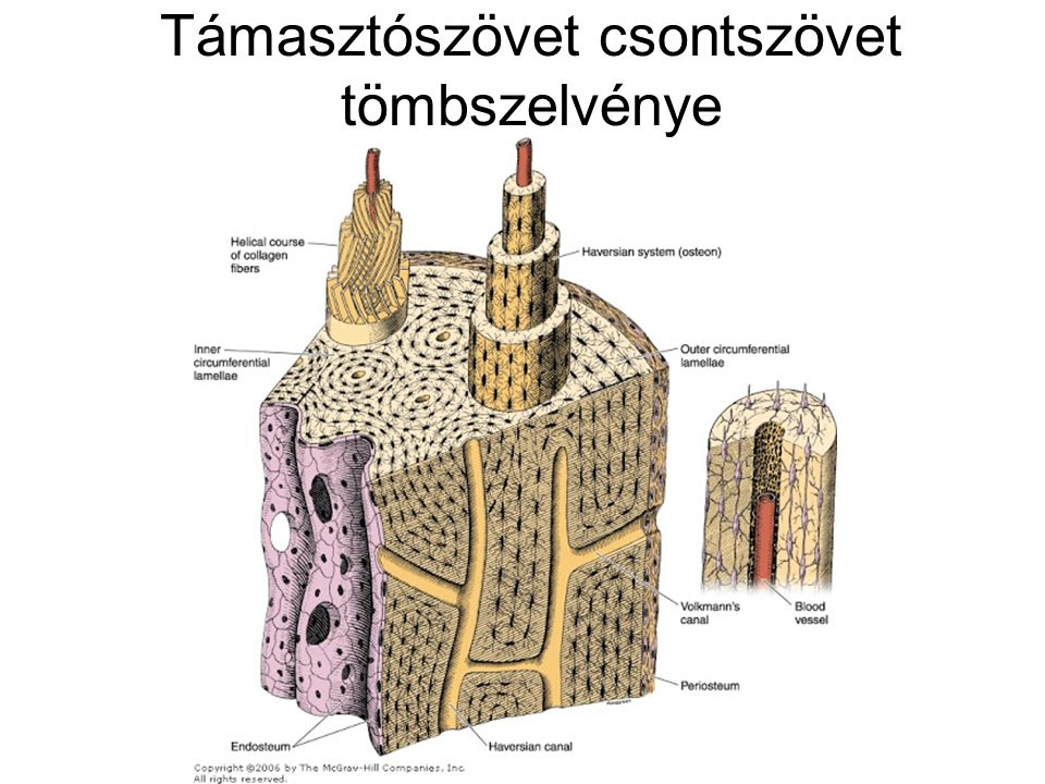 Támasztószövet csontszövet tömbszelvénye
