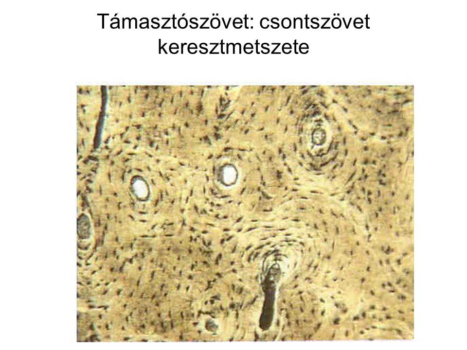 Támasztószövet: csontszövet keresztmetszete