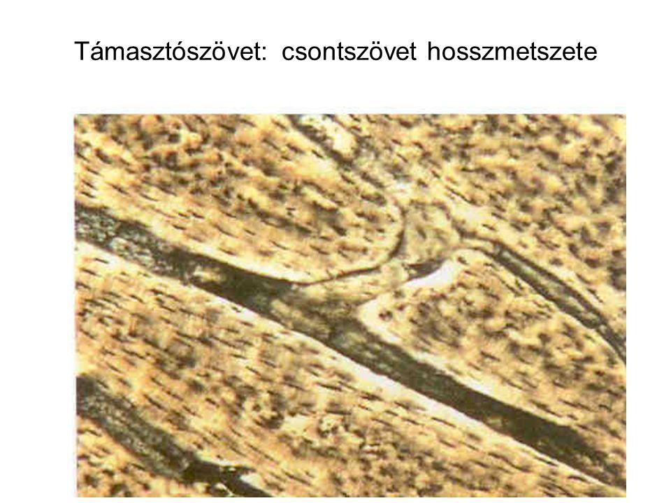 Támasztószövet: csontszövet hosszmetszete