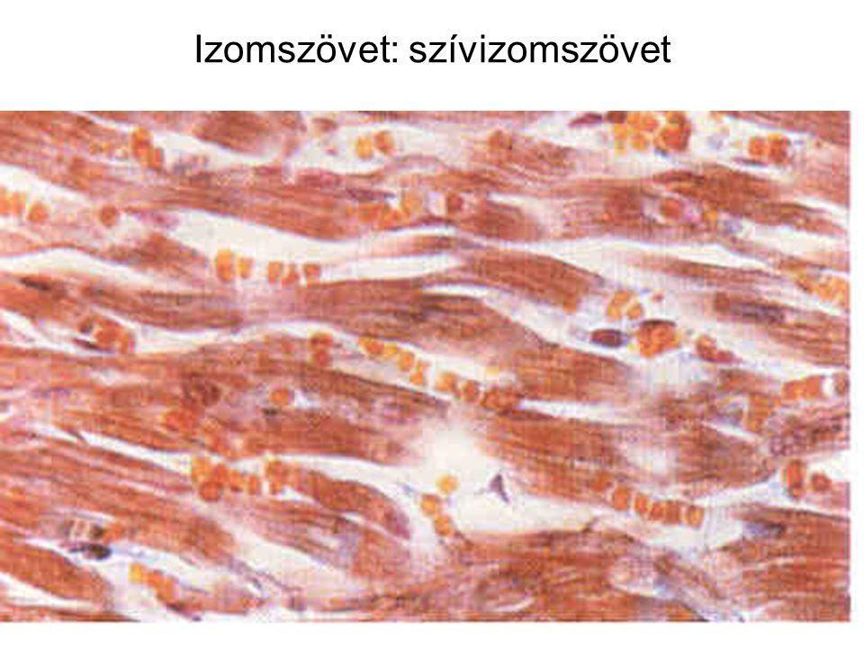 Izomszövet: szívizomszövet