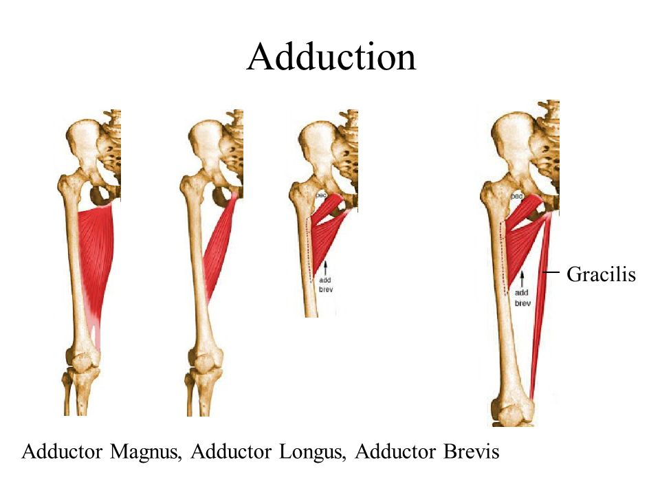 Adduction Gracilis Adductor Magnus, Adductor Longus, Adductor Brevis