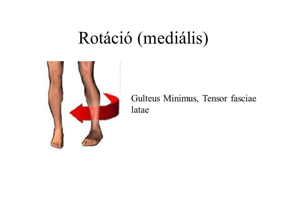 Rotáció (mediális) Gulteus Minimus, Tensor fasciae latae