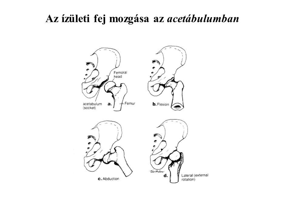 Az ízületi fej mozgása az acetábulumban