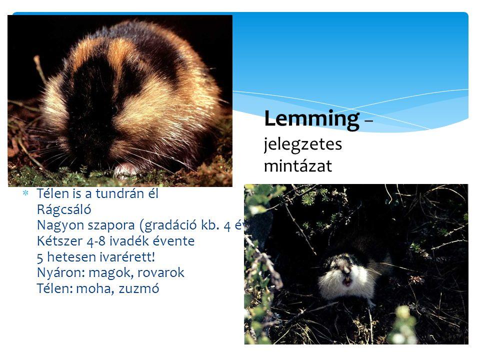 Lemming – jelegzetes mintázat