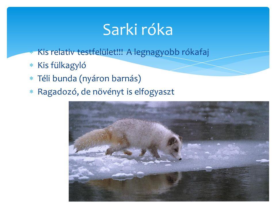 Sarki róka Kis relativ testfelület!!! A legnagyobb rókafaj