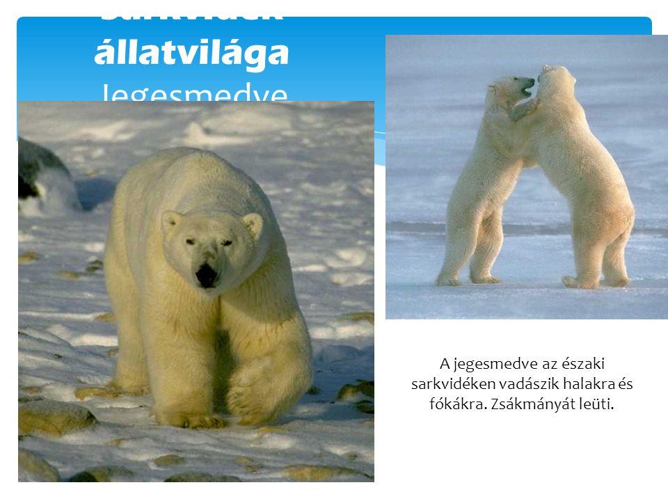 Sarkvidék állatvilága Jegesmedve