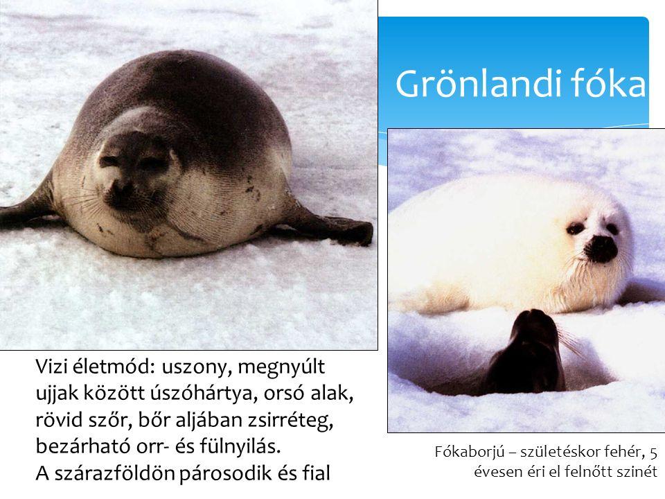 Grönlandi fóka Csodálatos állatvilág, Mester Kiadó.