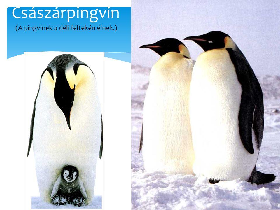 (A pingvinek a déli féltekén élnek.)