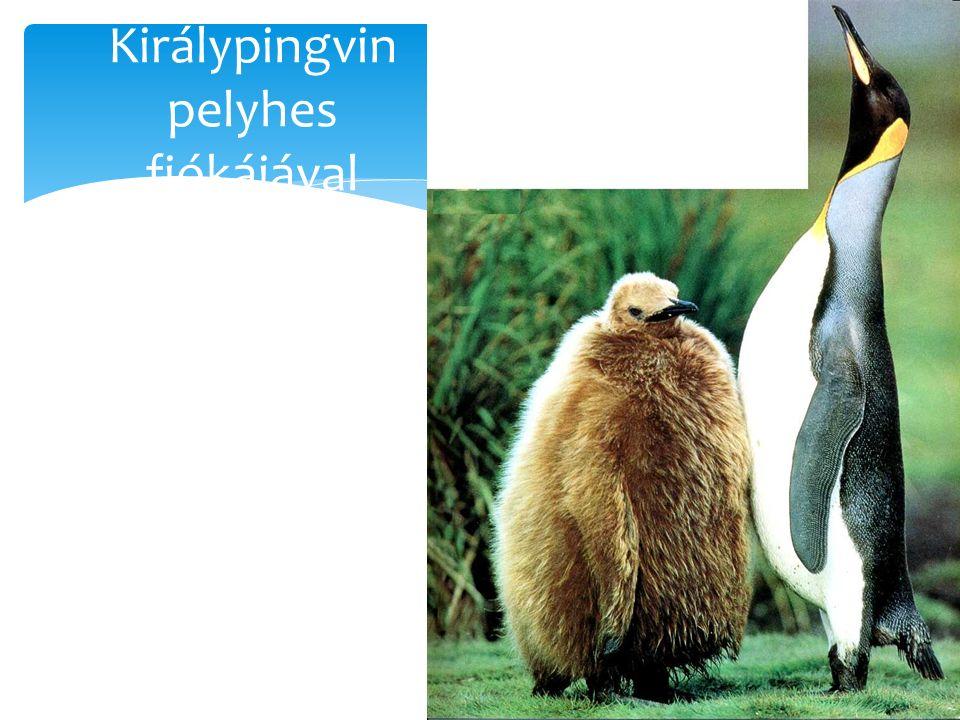 Királypingvin pelyhes fiókájával
