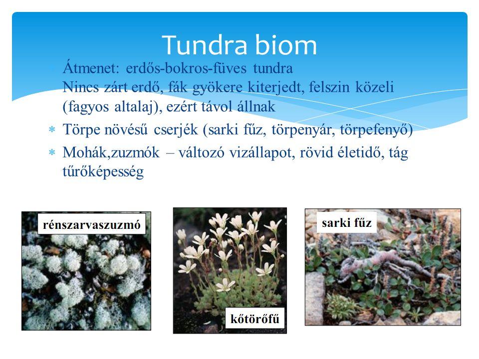 Tundra biom Átmenet: erdős-bokros-füves tundra Nincs zárt erdő, fák gyökere kiterjedt, felszin közeli (fagyos altalaj), ezért távol állnak.