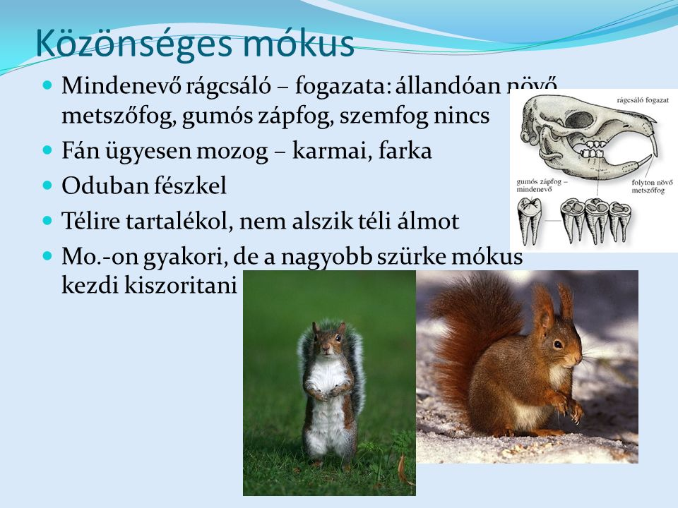 Közönséges mókus Mindenevő rágcsáló – fogazata: állandóan növő metszőfog, gumós zápfog, szemfog nincs.