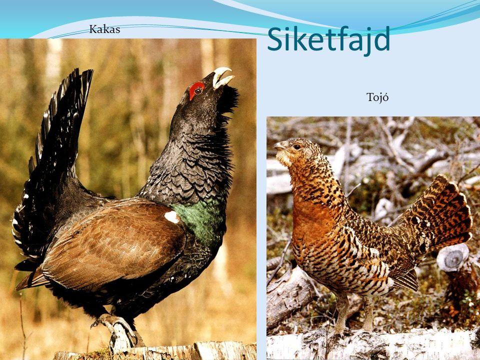 Siketfajd Kakas Tojó Képek: Csodálatos állatvilág – Mester Kiadó 2/268. kártya