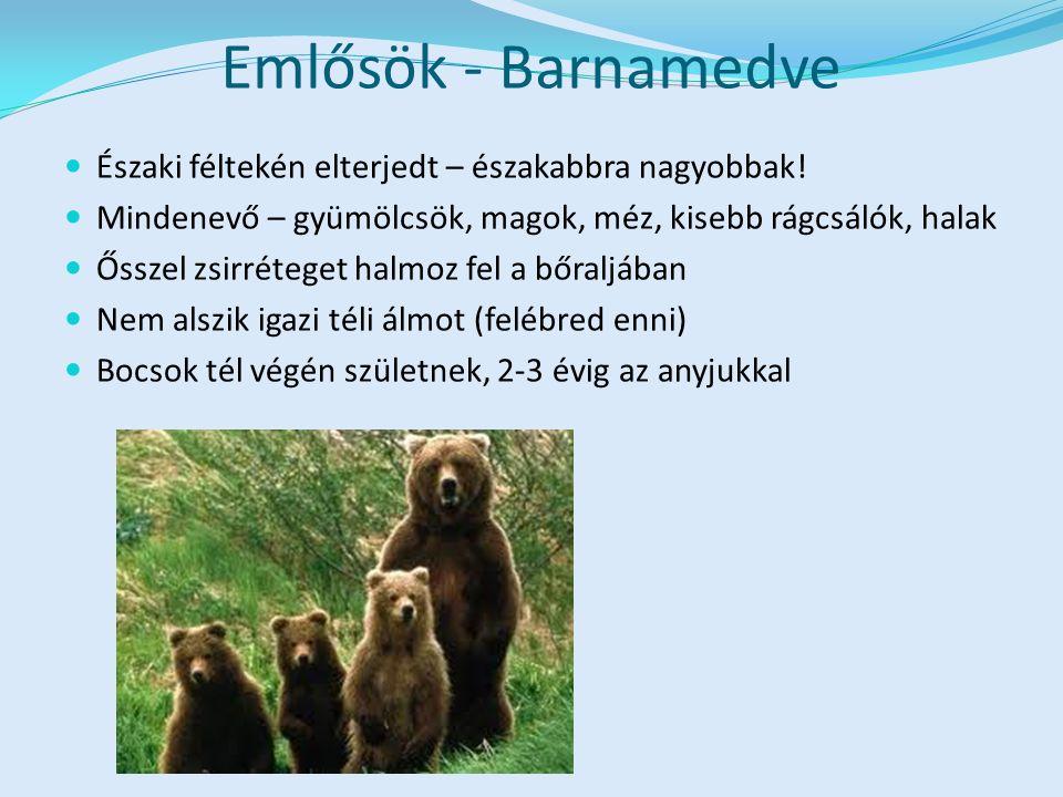 Emlősök - Barnamedve Északi féltekén elterjedt – északabbra nagyobbak!