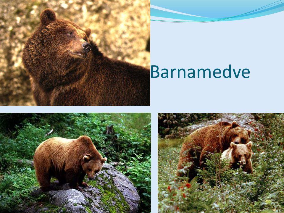 Barnamedve Bal felső kép: Emlősök CD, Kossuth Kiadó