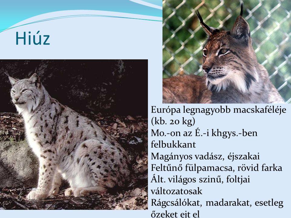Hiúz Európa legnagyobb macskaféléje (kb. 20 kg)