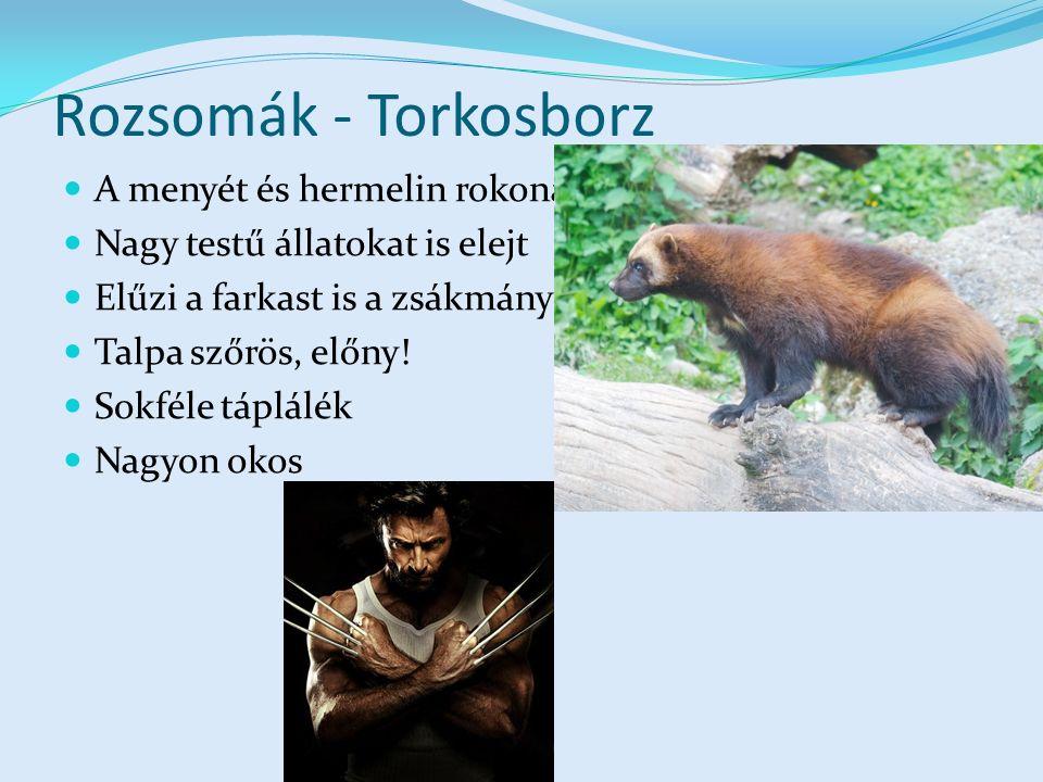 Rozsomák - Torkosborz A menyét és hermelin rokona