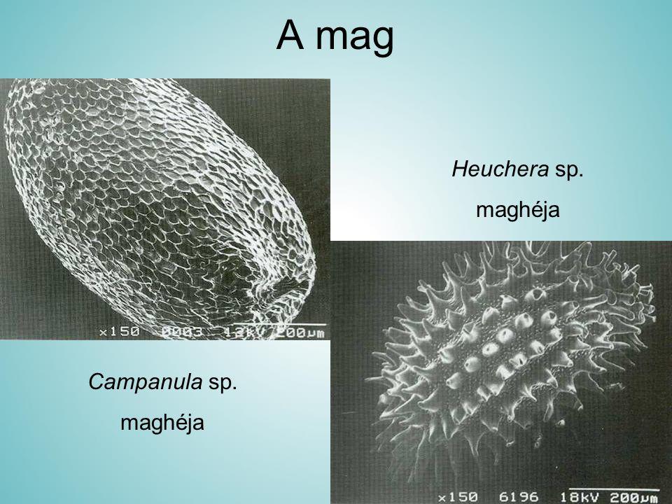 A mag Heuchera sp. maghéja Campanula sp. maghéja