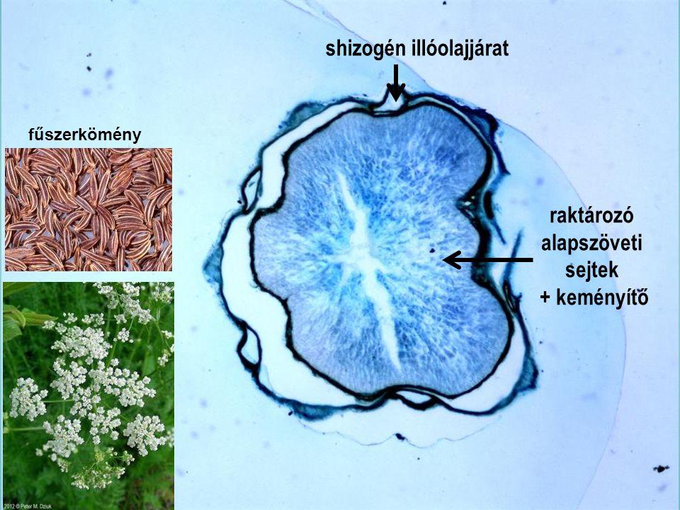 Carvi fructus km4x shizogén illóolajjárat raktározó alapszöveti sejtek
