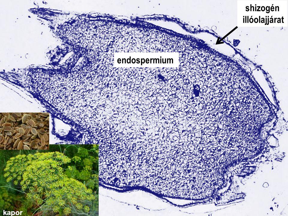 shizogén illóolajjárat 4. gyak_Anethi fructus endospermium kapor