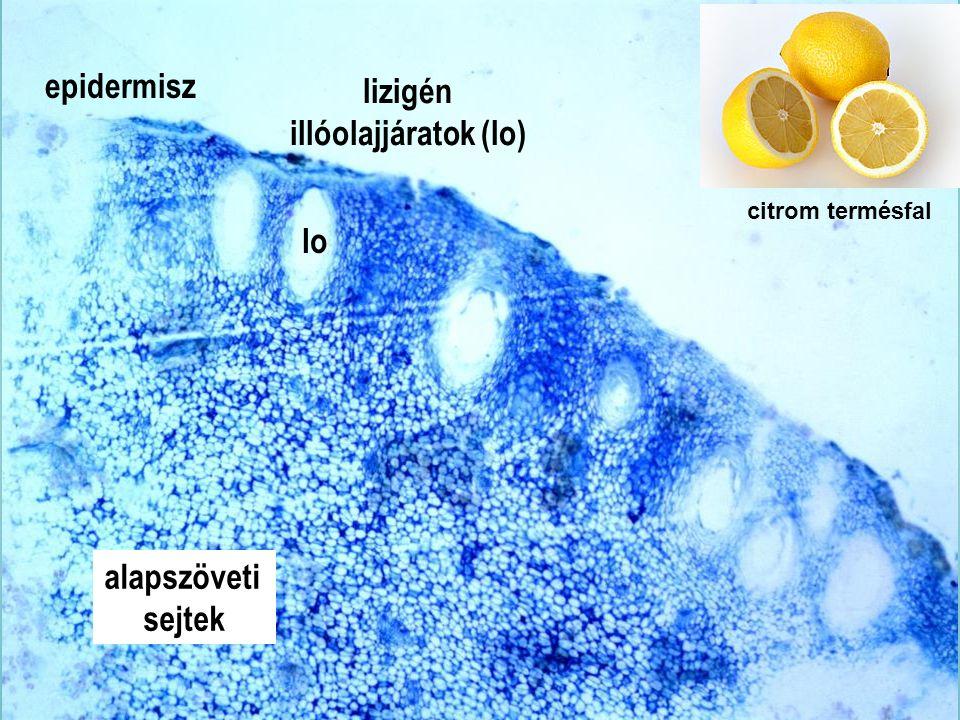 Citrus termésfal km4x epidermisz lizigén illóolajjáratok (lo) lo
