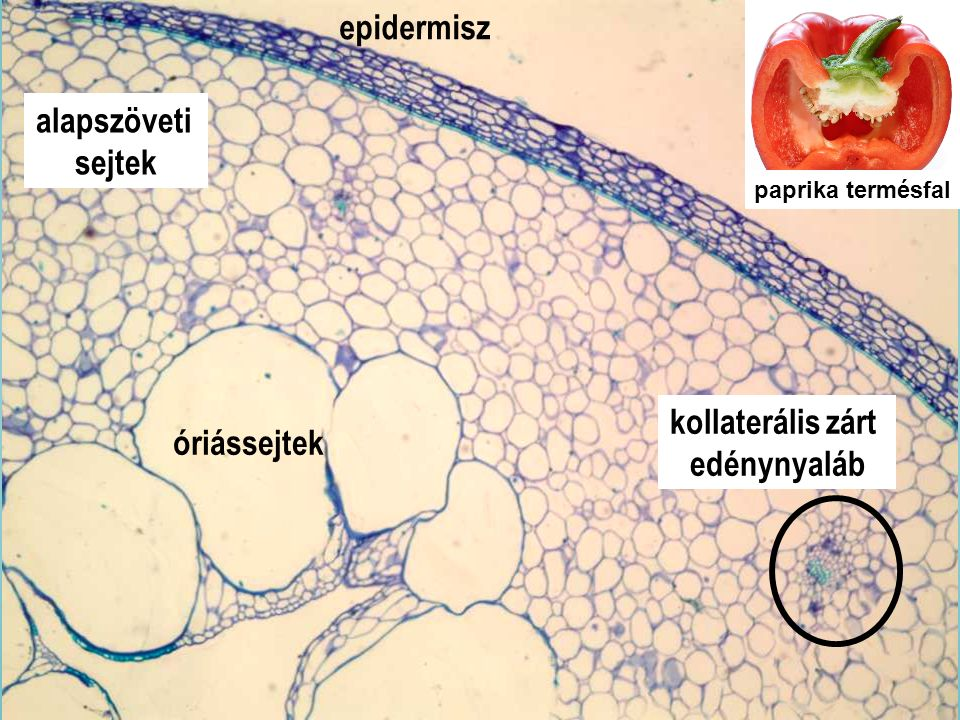 Capsici fructus_4x epidermisz alapszöveti sejtek kollaterális zárt