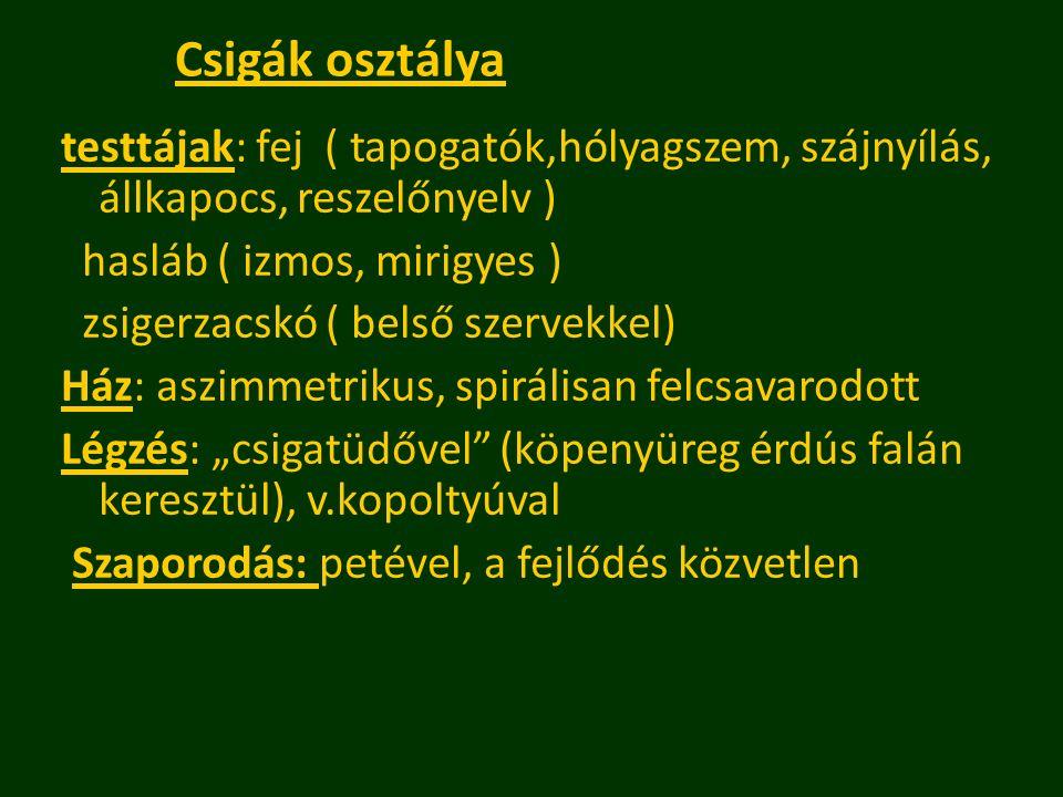 Csigák osztálya testtájak: fej ( tapogatók,hólyagszem, szájnyílás, állkapocs, reszelőnyelv ) hasláb ( izmos, mirigyes )