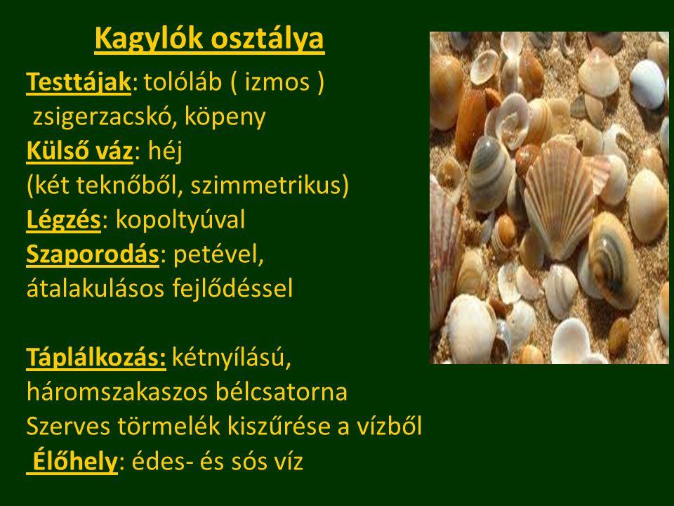 Kagylók osztálya Testtájak: tolóláb ( izmos ) zsigerzacskó, köpeny