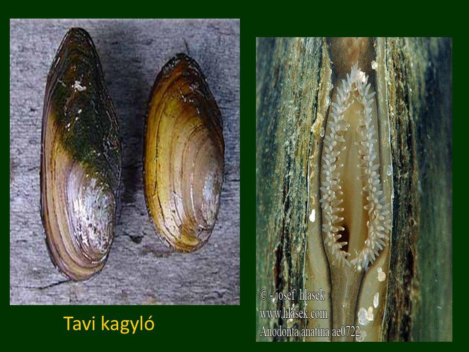 Tavi kagyló