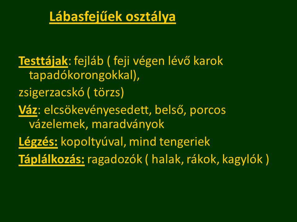 Lábasfejűek osztálya Testtájak: fejláb ( feji végen lévő karok tapadókorongokkal), zsigerzacskó ( törzs)