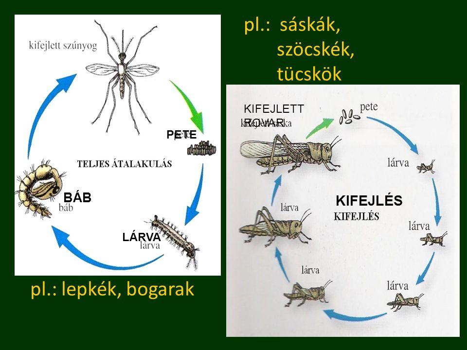 pl.: sáskák, szöcskék, tücskök pl.: lepkék, bogarak KIFEJLÉS BÁB