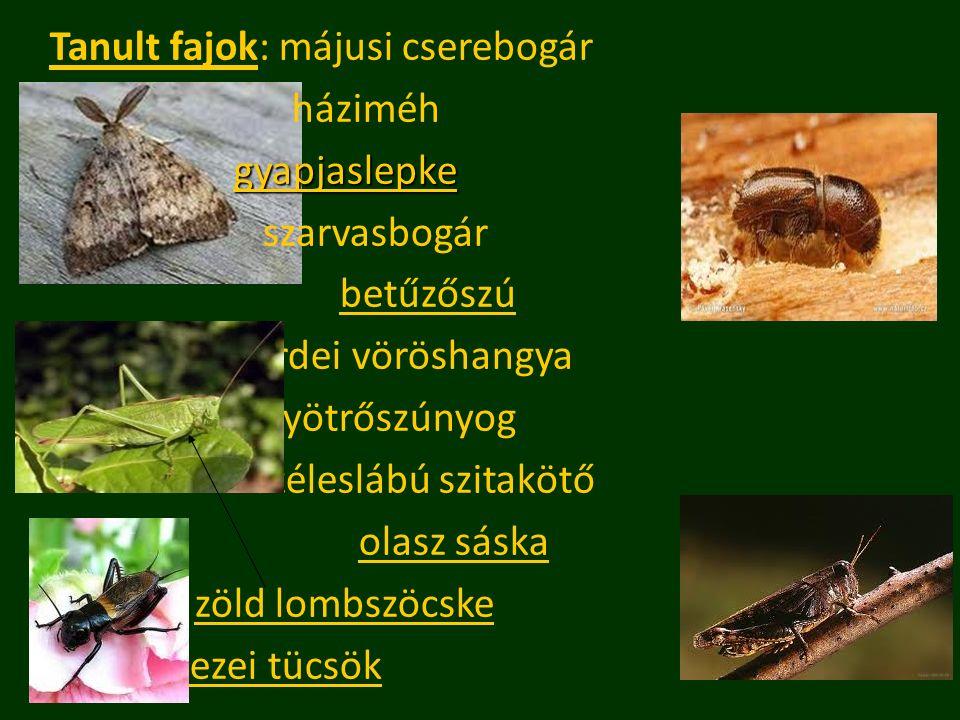 Tanult fajok: májusi cserebogár