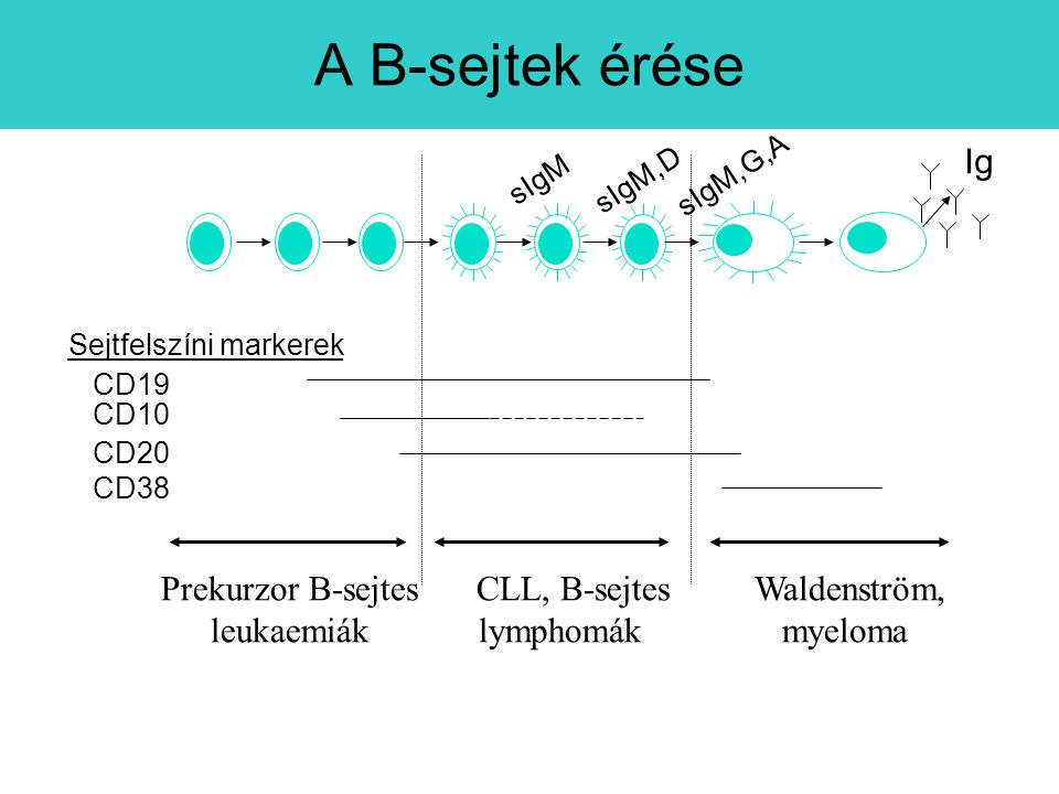 A B-sejtek érése Ig Prekurzor B-sejtes leukaemiák