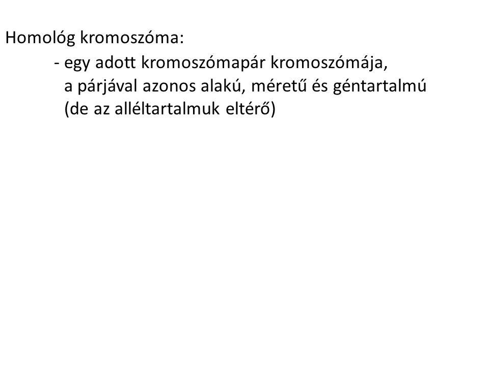 Homológ kromoszóma: - egy adott kromoszómapár kromoszómája, a párjával azonos alakú, méretű és géntartalmú.