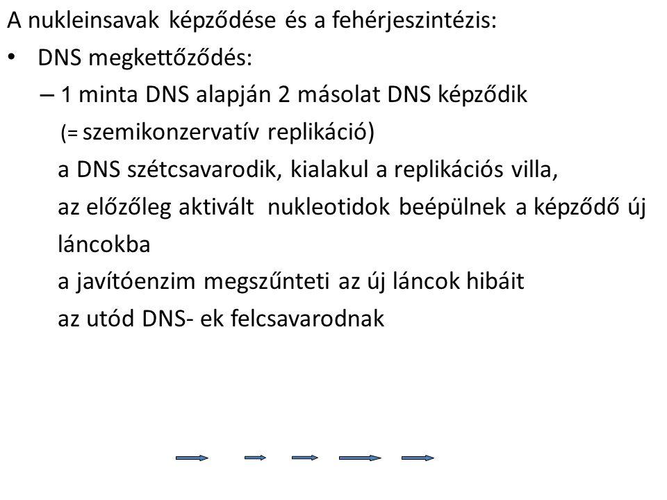 A nukleinsavak képződése és a fehérjeszintézis: DNS megkettőződés: