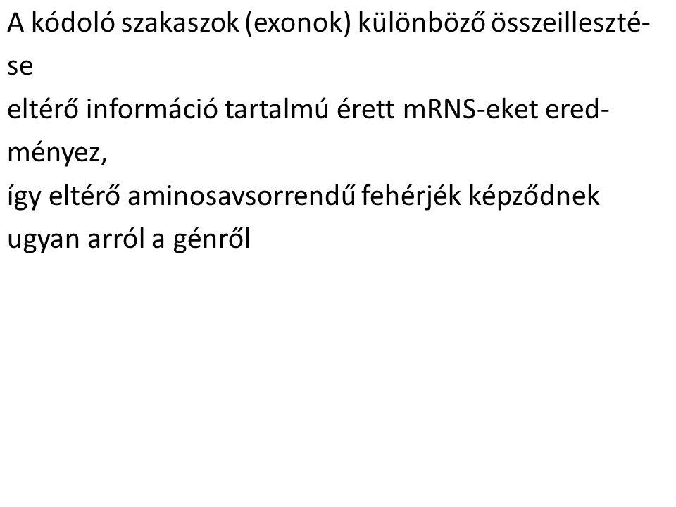 A kódoló szakaszok (exonok) különböző összeilleszté-